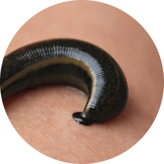 Up close leech picture in circle
